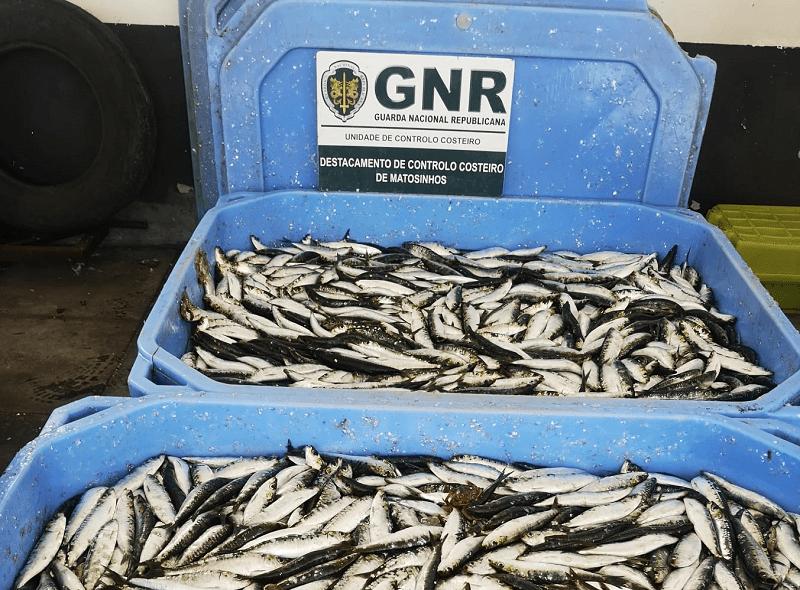Apreensão de mais de meia tonelada de sardinha em Matosinhos por falta de rastreabilidade